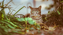 HUMANS, GO OUT ! HERE IS MY TERRITORY (Jeton Bajrami) Tags: cat 50mm f14 eye af sony a7ii samyang fe rokinon perfect art animal felin domestic moustache colors bokeh