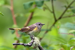 American Redstart, Female (brian.bemmels) Tags: setophagaruticilla setophaga ruticilla female americanredstart warbler nature fauna outdoors wildlife bird birdsofbc britishcolumbia canada