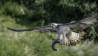 Osprey .