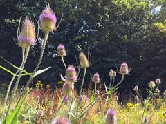 Teasels (sander_sloots) Tags: teasel kaardebol plant park schiedam flower bloem trees bomen green groen teasels kaardebollen prises beatrixpark