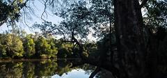 Water Gum (dustaway) Tags: nsw nature australia bungawalbincreek bungawalbincatchment richmondvalley northernrivers waterscape myrtaceae watergum tristaniopsislaurina lateafternoon afternoonlandscape australianlandscape water reflections winter