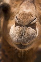 Camel Snout (jarhtmd) Tags: africa morocco sahara animal canon eos70d camel closeup face canon70200f4l portrait