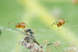 Comb-footed spider (Theridiidae) - DSC_6151