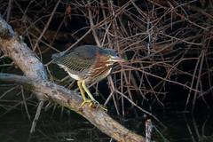 GreenHeronFledgling (jmishefske) Tags: 2018 d850 nikon stick milwaukee pond fledgling lagoon westallis greenfield wisconsin island july park heron green county bird