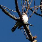 Eastern Kingbird thumbnail