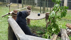 V190 Anh Sang(5) (Animals Asia) Tags: animalsasia vietnam vbrc vietnambearrescuecentre moonbear wishcometrue rehabilitation endbearbilefarming