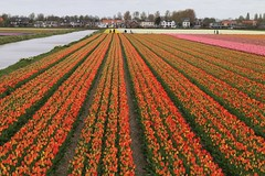 Flower Field (Ramon Boersbroek) Tags: lisse noordwijkerhout field ruigenhoek zilk flower bloemen bollenveld bollen lines tulips lovely netherlands windmill house tiny people bike tourists toerisme nederland holland near keukenhof agriculture spring lente canal kanaal sloot background amsterdam june april day visit leiden den haag zuid noord bloei fietsroute route wanneer kaart map vertical landschap polder houses greenhouse