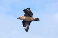Great Skua in flight (ejwwest) Tags: bonxie hebrides skua atlantic scotland islands northatlantic birds bird stercorariusskua greatskua stkilda wildlife hirta unitedkingdom gb