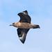 Great Skua in flight