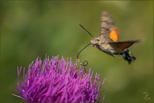 Taubenschwänzchen (Hummingbird hawk-moth)