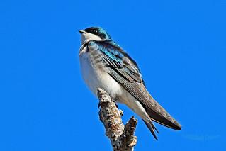 Tree Swallow 18-0311-7969