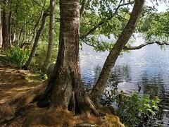 Kiva puu. Taustakukkiakin on #kaukajärvi