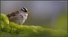 White-crownedSparrow_6D_6253 +6500 views, Thank you !!! (CrzyCnuk) Tags: whitecrownedsparrow kananaskis alberta canon canon6d wildlife sparrow birds