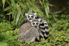 Ring-tailed lemur - Ringstaartmaki (schreudermja) Tags: ringtailedlemur ringstaartmaki avifauna aap monkey aapje nederland netherlands nikond800e martyschreuder woods animal sbs sidebyside couple cuddling wildlife outdoor