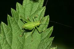 Speckled bush-cricket (Leptophyes punctatissima) (bramblejungle) Tags: speckled bushcricket insect orthoptera garden leptophyes punctatissima