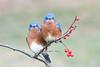 Angry Bluebirds (adbecks) Tags: bluebird angry birds d500 200500mm nj wildlife perched bokeh