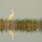 Great Egret reflectiion 01-20180615 thumbnail