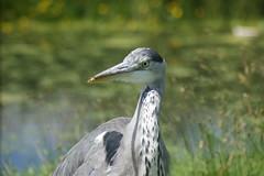DSC00700 (The Unofficial Photographer (CFB)) Tags: deardiaryjune2018 featheredfriends bushypark royalparks heron ron londonparks