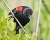 Red Winged Blackbird, Avalon, New Jersey (Jim Nall) Tags: red winged blackbird avalon avian