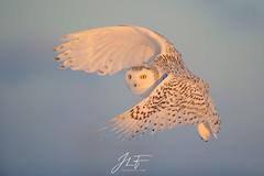 Les premiers rayons (jlf_photo) Tags: wildlife snowy owl bird oiseau neige hiver froid