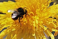AKKERMELKDISTEL || GUTWEED (Anne-Miek Bibbe) Tags: havikskruid sonchusarvensis fieldmilkthistle fieldsowthistle perennialsowthistle cornsowthistle dindle gutweed swinethistle ackergänsedistel treesowthistle lelaiterondeschamps cerraja cardincha canoneos700d canoneosrebelt5idslr annemiekbibbe bibbe nederland 2018 tuin garden jardin giardino jardim natuur nature bloei bloemen flowers flor flores bloom blumen fleur fleurs fiori fioritura onkruid weed