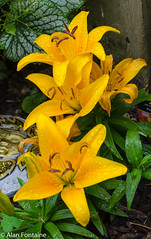 _Yellow Pixie Lilies (Al Fontaine) Tags: summer lily lilies flowers flower gardens garden gardening nature newyorkstate nikond7000 ny yellow orange green