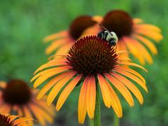 Making Honey (Reggae1969) Tags: nature macro flower bee arboretum garden northcarolina raleigh omd em5 mk ii
