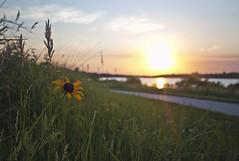 Prairie's Edge (Tiara Rae Photography) Tags: black eyed susan wildflower flower prairie grasses sidewalk trail walking sun sunset lake reflection omaha nebraska