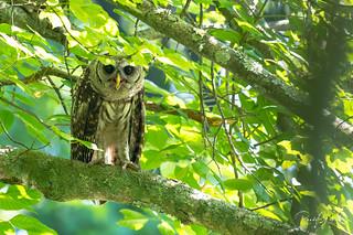 Barred Owl - Strix varia   2018 - 4
