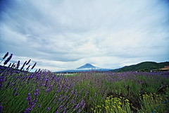 Lake Kawaguchi Herb Festival (ULTRA Tama) Tags: lake kawaguchi herb festival mtfuji mtfujiwhc japan shizuoka fuji todays dayliphoto instadaily photogenic igjapan loversnippon worldcaptures flickrfriday welovef july 2018 worldheritage tabijyo genicmag retripjapan retripshizuoka explorejapan traveljapan mount lavender fields