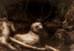 Cooling Off (Shastajak) Tags: stanley deerhoundcross threelegged tripaw lurcher crossbreed greyhound sighthound gazehound dog rehomed rescued pool stream ghyll fairlightghyll hastingscountrypark fairlightglen topazglow nikcolorefexpro lightroomcc helios402f1585mm tripawd deerhound littledoglaughedstories littledoglaughednoiret