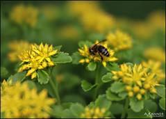 What's The Buzzzz... (angelakanner) Tags: canon70d lensbaby velvet56 bee flowers garden longisland closeup blur