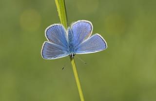 Common Blue (Polyommatus icarus).