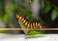 Cinnabar Moth Caterpillar (Doolallyally) Tags: cinnabarmoth cinnabarmothcaterpillar caterpillar insect devon england