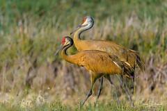 Morning Stroll (craig goettsch - out shooting) Tags: sanibel2018 harnsmarsh sandhillcrane florida avian wildlife nature pair