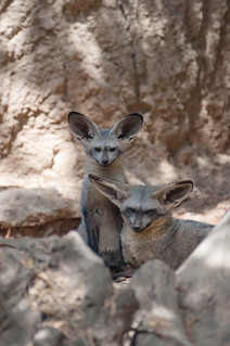 Bat Eared Fox and Her Young.