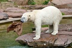 Vera - Charlotte - Eisbären - Tiergarten Nürnberg (ElaNuernberg) Tags: eisbärvera eisbärcharlottealiaslottchen tiergartennürnberg nurembergzoo zoo zooanimals zootiere eisbär polarbear ijsbeer isbjorn ourspolaire orsopolare jääkaru niedźwiedźpolarny ursusmaritimus