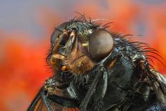 Fly Trap (paulward972) Tags: ngc pollen flowers plants insects olympusm60mmf28macro olympusem1markii fly flies macro npc