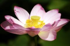 radiating the sun (dK.i photography) Tags: lotus pink yellow orton dreamy macro flower summer outdoors portrait washingtondc kenilworthaquaticgarderns 2018 nature sliderssunday hss