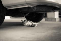 猫 (fumi*23) Tags: ilce7rm3 sony 55mm sonnartfe55mmf18za sel55f18z cat chat katze gato feline animal neko a7r3 emount sonnar bw blackandwhite street ねこ 猫 ソニー 路地
