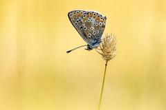 Bläuling (michel1276) Tags: schmetterling butterfly papillon farfalle insekt insect macro makro bläuling sonya7iii canon10028l sigmamc11