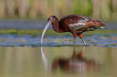 White-faced Ibis (Plegadis chihi) (SharifUddin59) Tags: whitefacedibis plegadischihi ibis adultbird bird nature wildlife reflection animal pearlharborwildliferefuge pearlharbornwr ewabeach honolulu wader water