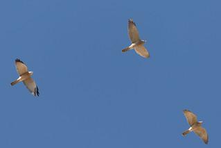 Levant Sparrowhawk (Accipiter brevipes)