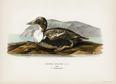 Eider (Somateria mollissima) illustrated by the von Wright brothers. Digitally enhanced from our own 1929 folio version of Svenska Fåglar Efter Naturen Och Pa Sten Ritade. (Free Public Domain Illustrations by rawpixel) Tags: photo publicdomain otherkeywords abstract america ancient animal antique artwork bird cc0 creativecommon0 creativecommons0 drawing drawn eider handdrawn illustrated illustration name northamerica old ornaments painting sketch somateriamollissima style texture vintage vonwright vonwrightbrothers wild wildlife