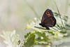 """""""Même pas discret..."""" (regisfiacre) Tags: erebia medusa moiré franconien printemps spring frühling papillon butterfly schmetterling farfalle insect insecte insekt bug bugs ailes wings nature sauvage wild wildlife macro macrophoto macrophotography macrophotographie canon 5div mark iv 4 plein format full frame sigma 150mm apo ex dg os hsm moselle france"""