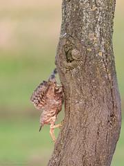 The way back (eric-d at gmx.net) Tags: littleowl athenenoctua steinkauz ngc eric owl strigidae kauz eule