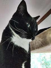 Dean in June (CopperScaleDragon) Tags: dean filterforge pixel2 tuxedo tuxedocat cat feline