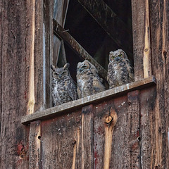 Owls in a Barn (D E Pabst Photography) Tags: asotincounty abandoned barn owl bird anatone greatgrayowl washington animal
