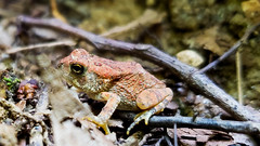 Jumpy (grinnin1110) Tags: charlotte unitedstatesofamerica frog sunny reedycreekpark northamerica rockyriverroad northcarolina afternoon mensapicnic outdoor fauna usa mecklenburgcounty nc