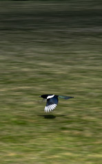 Magpie (sam.naylor) Tags: pentax tokina zoom telephoto nature leaves grass walk dslr lens digital uk britain green